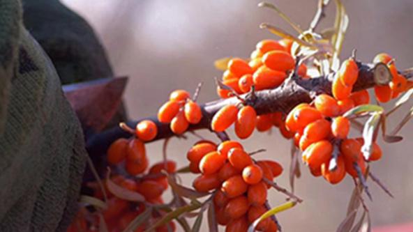 Have a bite of sea buckthorn – the golden fruits in Gobi desert